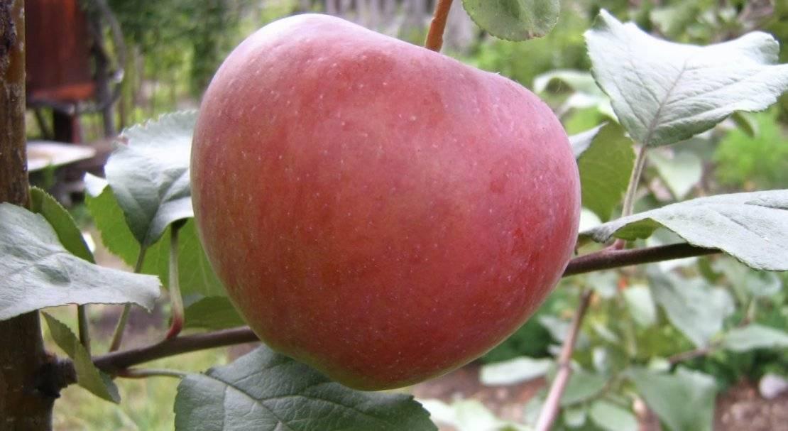 Всё про яблони известного и популярного сорта россошанский