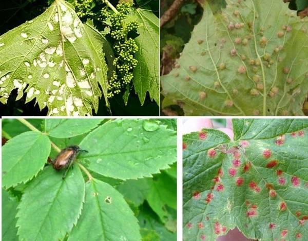 Виды гнилей винограда и самые эффективные способы лечения и профилактики