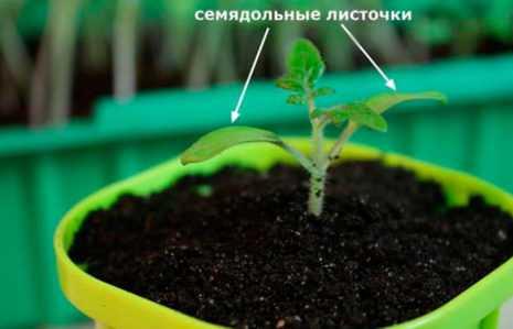 Малиновое чудо обеспечит богатый урожай томатов!