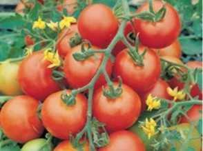 Характеристика сорта томатов белле f1