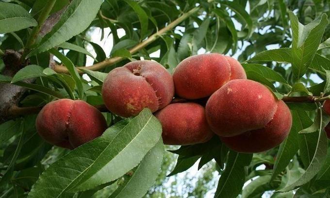 Персик инжирный сорта «сатурн», выращиваем в домашних условиях