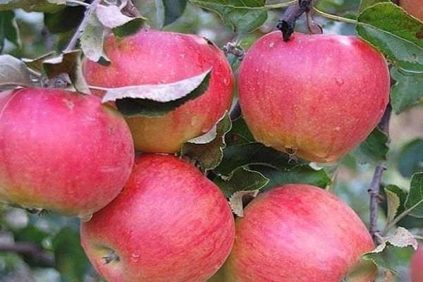 Урожайный и зимостойкий сорт яблонь ветеран
