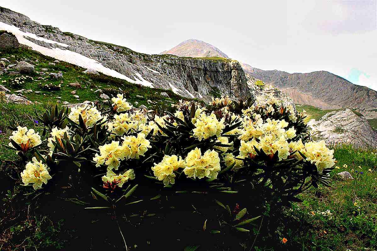 Зимостойкие рододендроны – 10 самых красивых сортов с фото и описанием