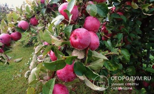 Яблоня белорусское сладкое: рассказываем суть