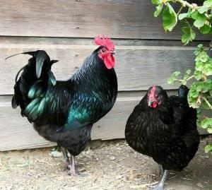 Глисты у кур: причины, симптомы и лечение
