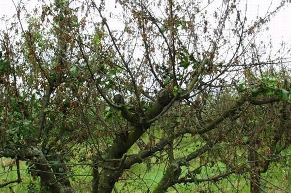 Болезни вишни и вредители – как предотвратить и чем лечить