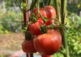 Как вырастить капризный абаканский розовый томат