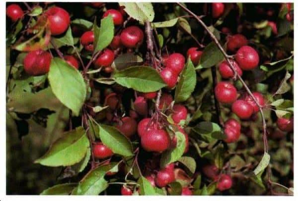 Характеристики и описание сорта яблонь памяти есаула, морозоустойчивость и дегустационная оценка плодов