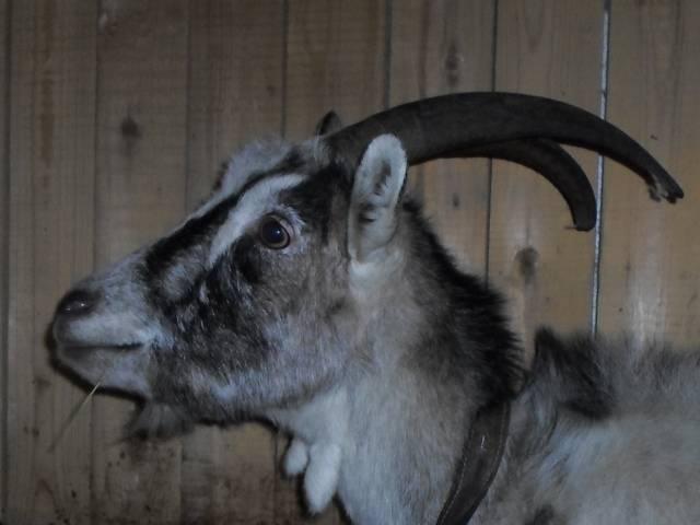 Признаки и длительность беременности у козы
