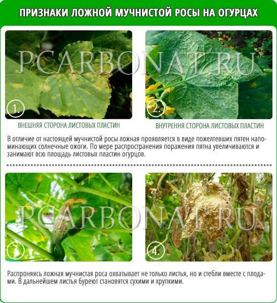 Чем обработать огурцы от мучнистой росы и пероноспороза