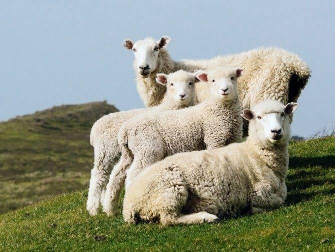 Что делать с шерстью овец после стрижки: обработка в домашних условиях