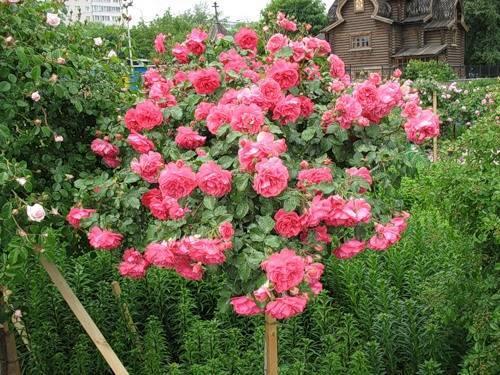 Украшение садов и парков — плетистая роза розариум ютерсен. описание, фото, нюансы выращивания