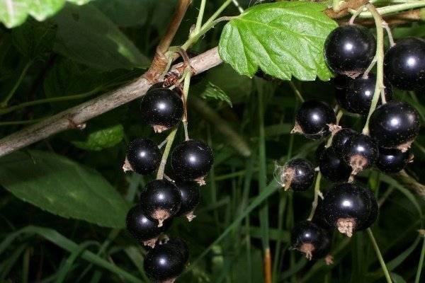 Черная смородина: особенности посадки и ухода за культурой