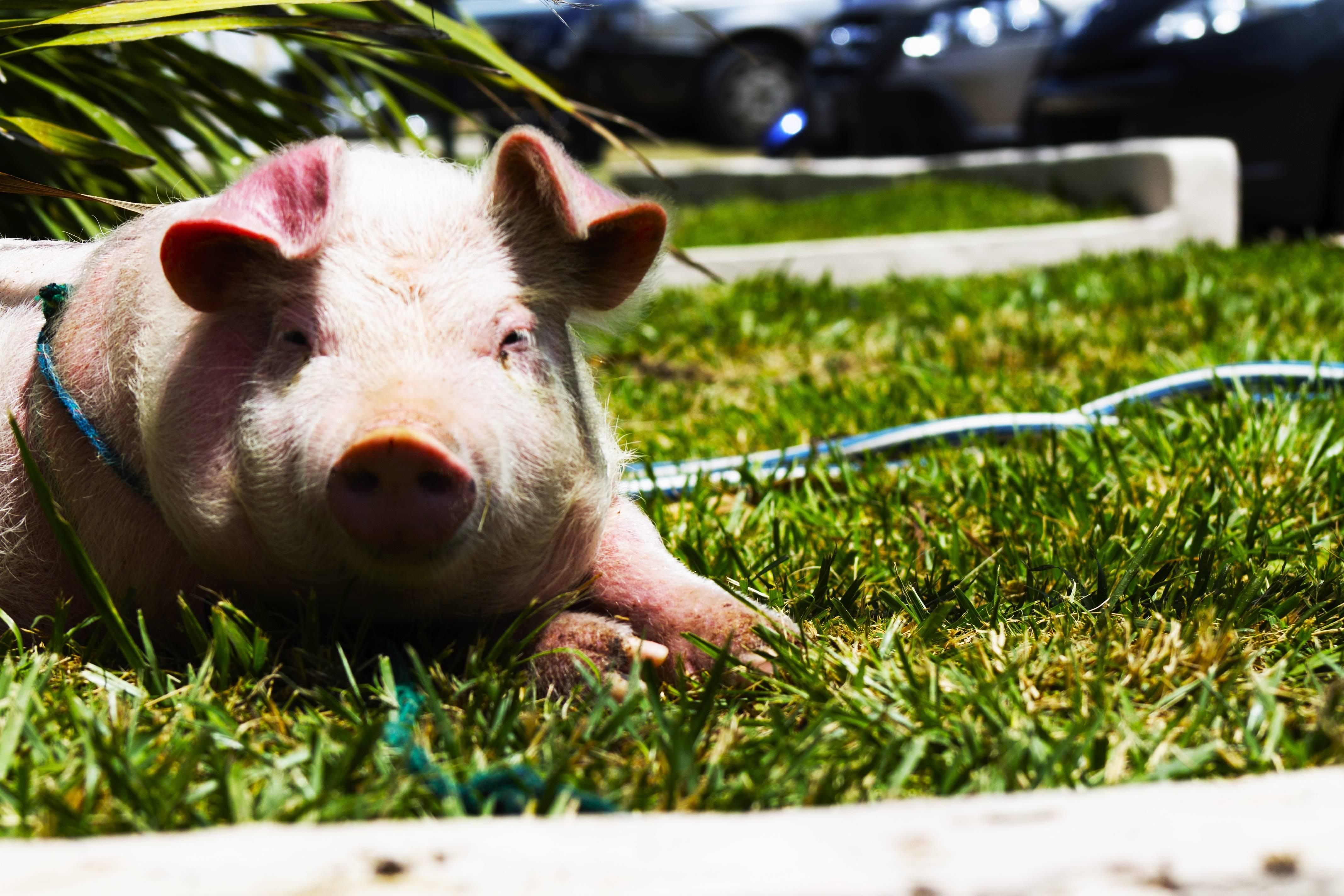 Самые большие свиньи в мире: великолепная четверка и новичок – клуб любителей хрюш