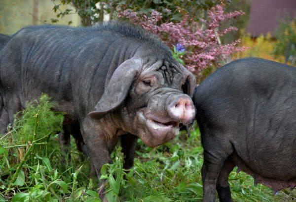 Инструкция по применению вакцины от рожи у свиней, побочные действия и противопоказания