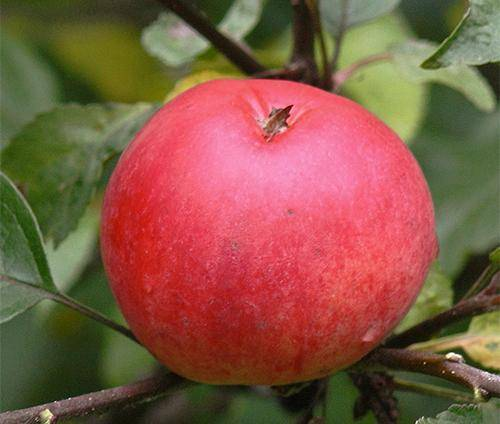 Описание сорта яблонь женева, когда высаживать и особенности выращивания