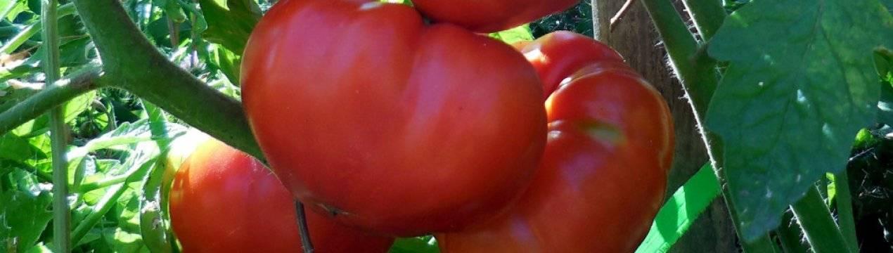 Томат медовый гигант отзывы фото урожайность