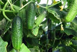 Гибрид огурцов «тёща f1»: характеристики, условия выращивания