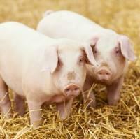 Виды парализаторов для свиней и как сделать своими руками в домашних условиях