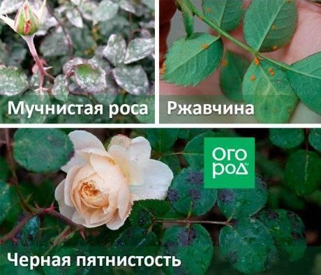 Интенсивная терапия: как эффективно бороться с болезнями роз