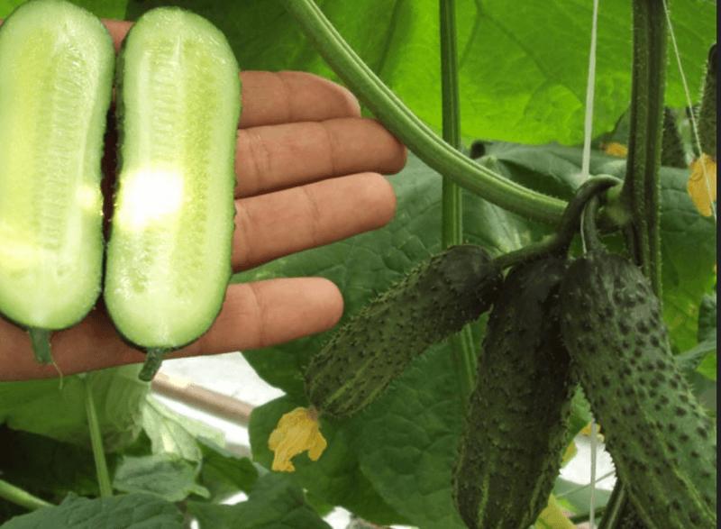 Гарантированная урожайность с огурцом «надежный»