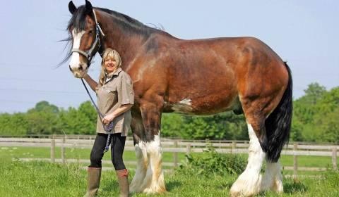 Самые большие лошади: какие есть крупные породы и известные рекордсмены