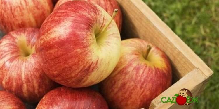 Вкусный привет из лета. как правильно сохранить яблоки на зиму свежими?