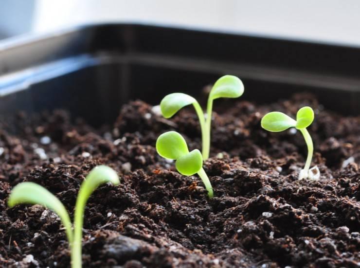 Как посадить гацанию в открытом грунте? особенности ухода