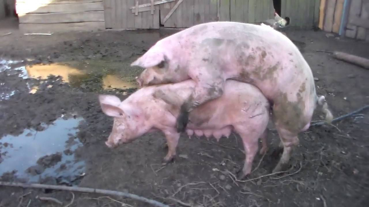 Все что нужно знать о спаривании (случке) свиней
