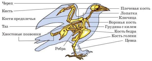 Анатомия человека: кости скелета верхних конечностей