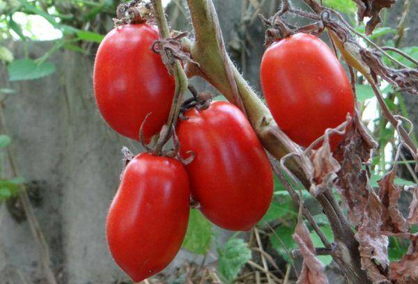 Выращиваем крупные, неприхотливые помидоры сорта «сибирская тройка»