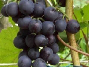 Виноград агат донской: описание сорта, советы по посадке и уходу