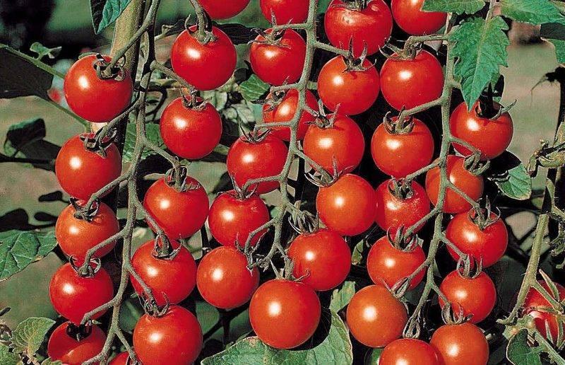 Томат свит черри f1: самые вкусные помидоры-малыши