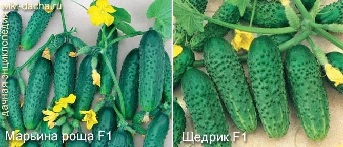Сорт огурцов марьина роща f1: описание и характеристика, отзывы