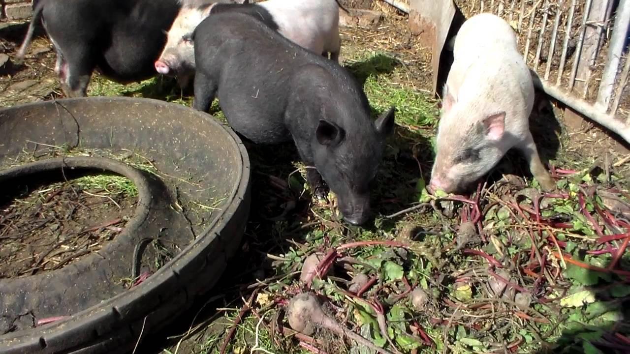 Об утверждении правил содержания свиней в личных подсобных хозяйствах на территории орловской области