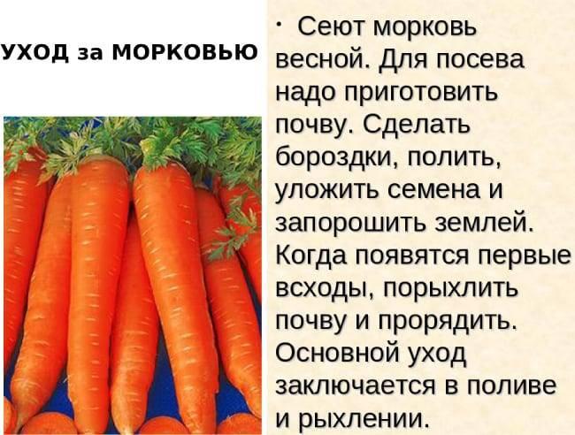 Огороднику нужно знать: как правильно, сколько раз и как часто поливать морковь после посадки?