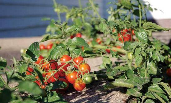 Неприхотливый сорт, требующий минимальной заботы – томат «японский карлик»