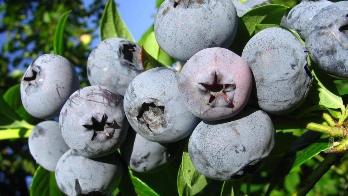 Голубика блюкроп — 125 фото и видео описание сорта голубики. советы опытных садоводов по выращиванию