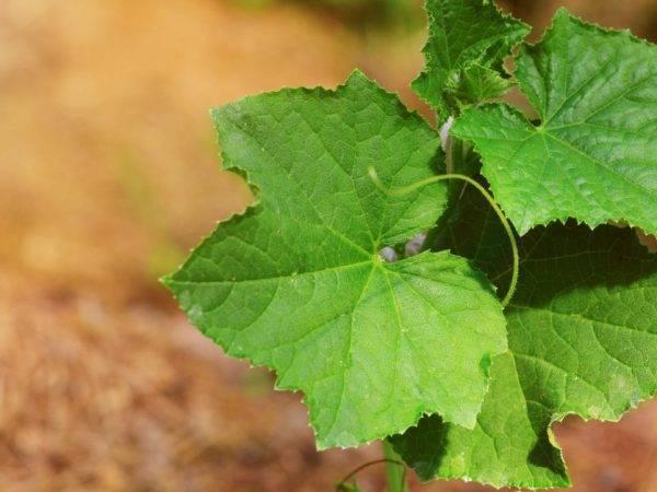 Армянский огурец: описание, выращивание, посадка и уход с фото