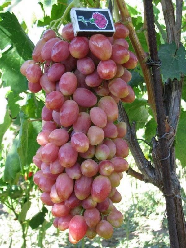 Один из лучших столовых сортов винограда «илья»