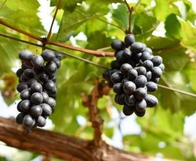Описание винограда сорта Ришелье, правила посадки и ухода