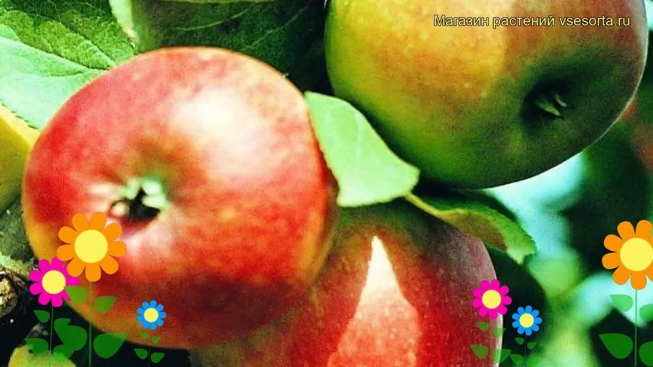 Раннеспелый сорт яблони коробовка