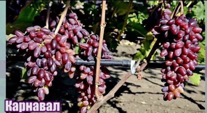 Описание винограда сорта Граф Монте Кристо и технология выращивания