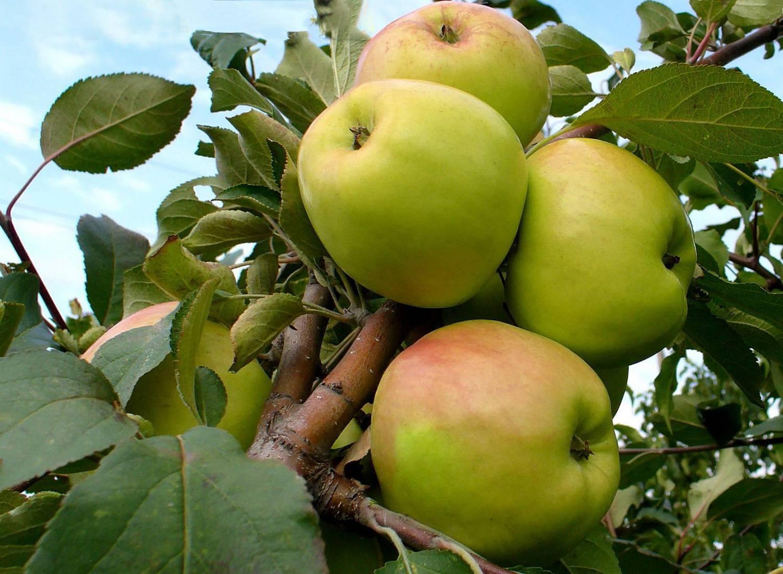 Описание сорта яблони Раннее Алое и характеристики урожайности