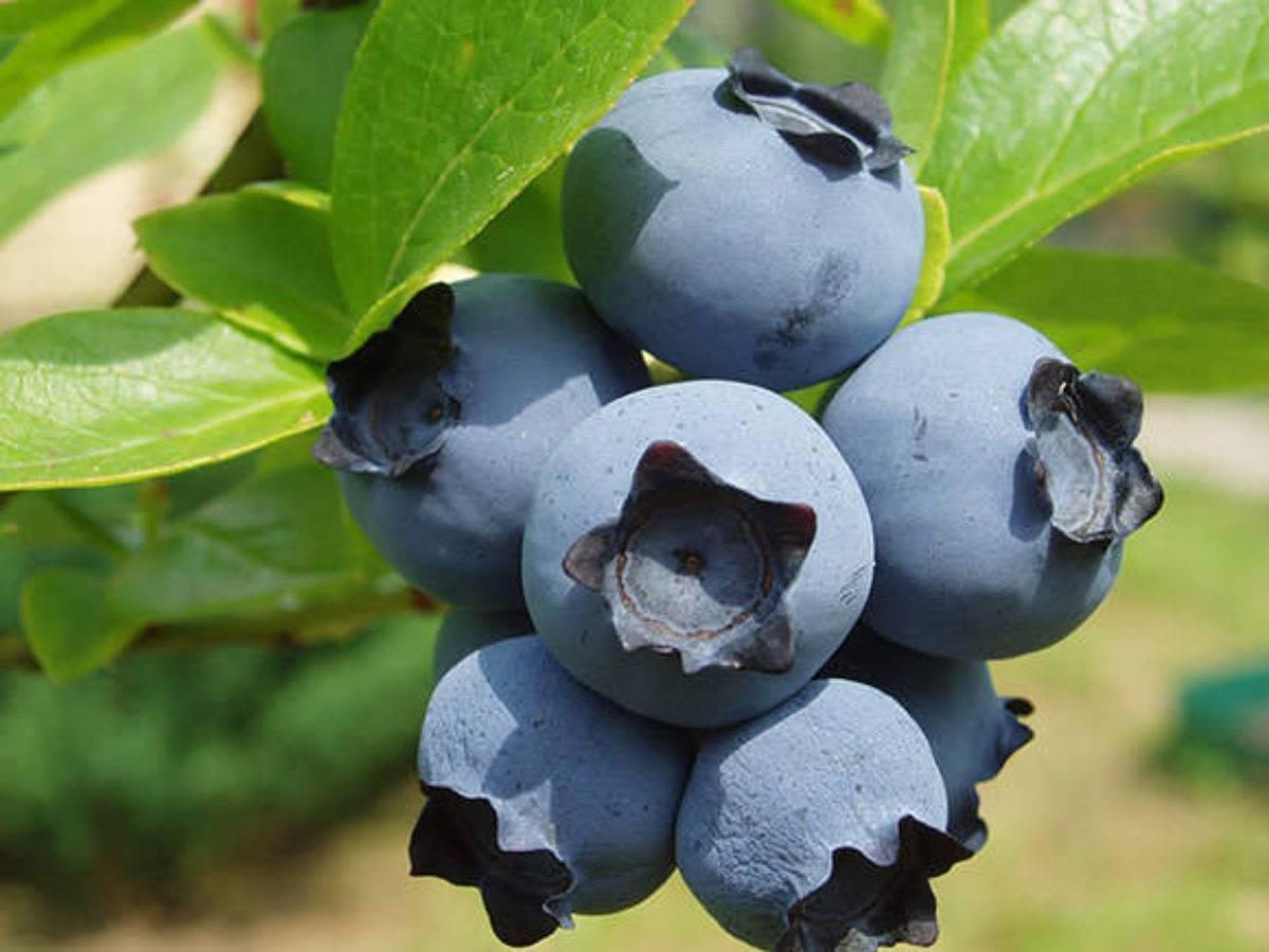 Сорт голубики королева элизабет — описание и особенности выращивания