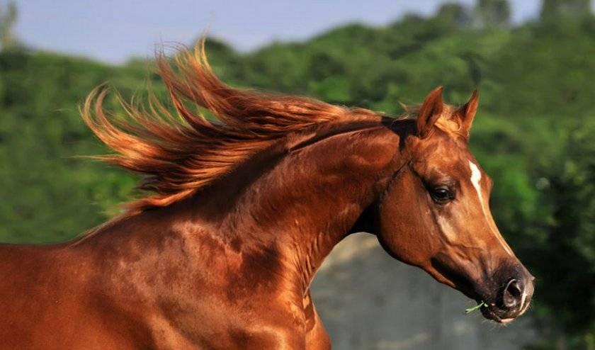 История и описание чистокровной верховой лошади