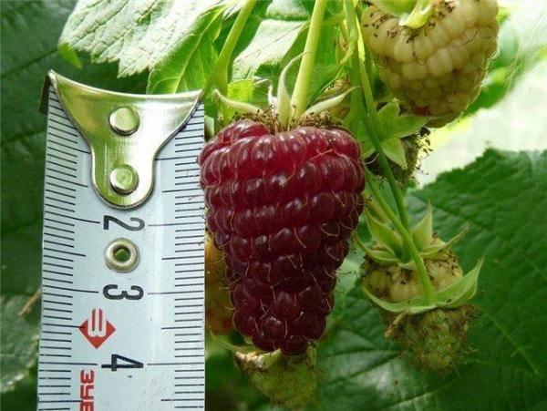 Рекомендации по выращиванию малины патриция