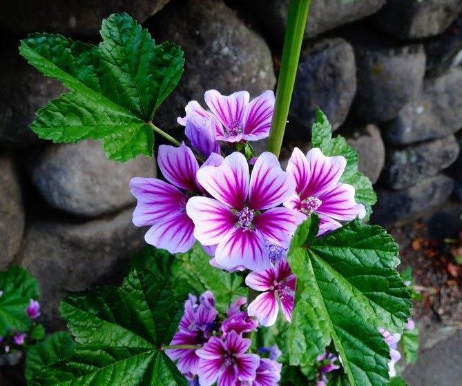 Характеристики и описания сортов садовой мальвы, особенности посадки и ухода