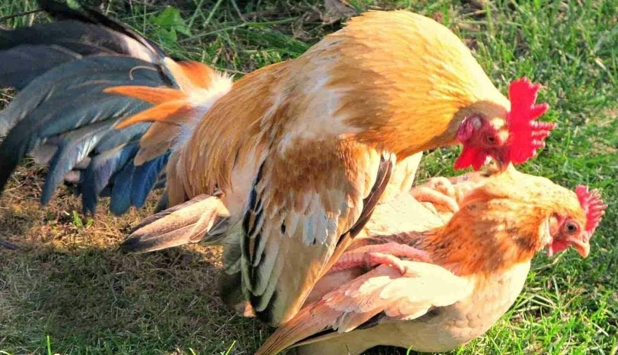 Как петух топчет (оплодотворяет) курицу