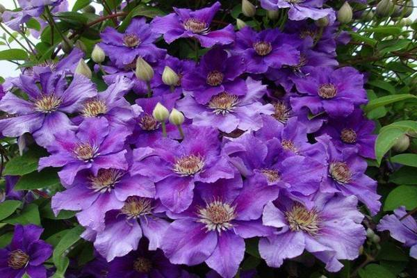 Клематис «стасик»: описание сорта и правила его выращивания